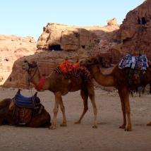 Petra- camels